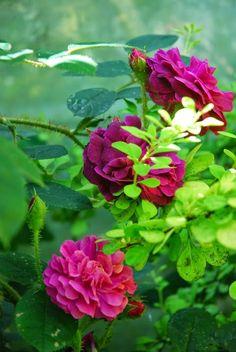 Törnrosas Trädgård