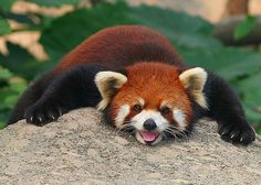 This silly red panda will give you a reason to smile.