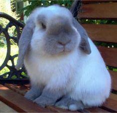 Adorable Mini Lop Rabbit; photo by Cuddlelops