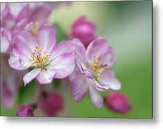 Crab Apple Coralburst Blooms 1 Metal Print by Jenny Rainbow. All metal prints are professionally printed, packaged, and shipped within 3 - 4 business days and delivered ready-to-hang on your wall. Choose from multiple sizes and mounting options. All Flowers, Spring Flowers, Beautiful Flowers, Spring Has Sprung, Got Print, Any Images, Fine Art Photography, Pink Roses, Fine Art America
