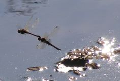 Two Dragonflies Mating in Flyght Delaware River, Public Domain, Dragonflies, Insects, Photos, Pictures, Memories, Writing, Inspiration