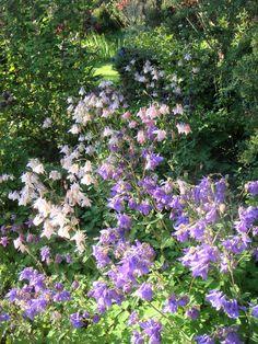 Aquilegia vulgaris im Frühling 2017 Terrace, Romantic, Plants, Lawn And Garden, Seasons Of The Year, Balcony, Patio, Romance Movies, Plant