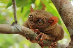 The Philippine tarsier has the highest eye-to-body-size ratio seen in mammals. Its outsized eyes give the tiny primate fantastic vision at night. But, there's a catch -- the eyes are fixed in their sockets, no movement allowed. Thankfully, there's a counter to the catch: The plucky primate can rotate its head 180 degrees. | news.discovery.com #Tarsier