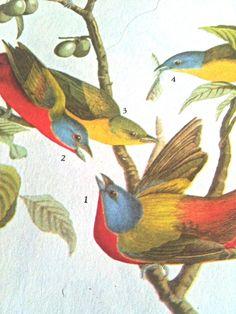 vintage audubon print