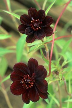 Chocolate plants: Cosmos atrosanguineus 'Chocamocha'
