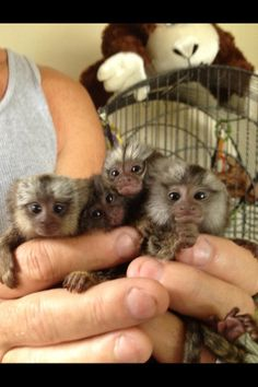 Baby Marmoset Monkey 4 available for a new home Pet Monkey For Sale, Marmoset Monkey For Sale, Monkeys For Sale, Tiny Monkey, Cute Baby Monkey, Pets For Sale, Funny Animal Photos, Cute Animal Pictures, Animals Photos