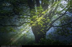 Tree in morning fog - stock photo