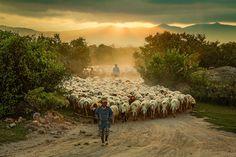 Rebanhos de Ovelhas mudam a paisagem em belas fotografias