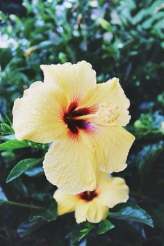 My favorite flower! I have so many favorites! Hibiscus comes in a variety of colors but I do love the yellow! Blooms all summer long. Winter-over indoors in zones below zone 9 or plant as annuals. Hibiscus Flowers, Tropical Flowers, Beautiful Flowers, Yellow Hibiscus, Goddess Of The Sea, Cider House, Plants Are Friends, Mellow Yellow, Planting Flowers