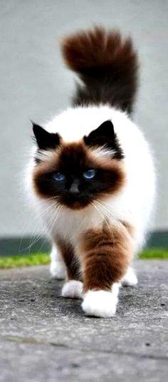 DesertRose,;,beautiful Himalayan cat ❤❤❤,;,                              …