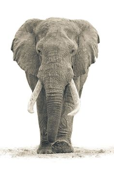 here it comes... When you like, share, or follow IvoryForElephants.org, help us gain media $$ to help save them.