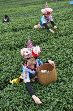 Farmer's pick tea leaves in a tea plantation in Zhaoping County, Guangxi province, February 20, 2013.  Tea processing is one of the pillara industries in Zhaoping with an annual output of 7,000 tons (Source: Xinhua)