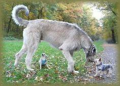. Irish Wolfhound Puppies, Irish Wolfhounds, Hound Breeds, Dog Breeds, Scottish Deerhound, The Perfect Dog, Dogs Of The World, Whippet, Dog Care