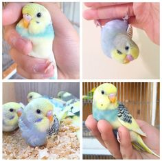 Cute little parakeets