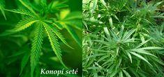 Konopíseté (latinsky cannabis sativa)tlumí bolest, kašel, pomáhá při roztroušenéskleróze, zeleném zákalu.Konopí je jednoletá statná rostlina s lodyhouvysokou až pět metrů. Lodyha je houževnatá,vláknitá, přímá, někdy nedělená. Listy jsou velkéaž 15 cm, většinou střídavé s 5-9 dlanitě sečnýmičepelemi. Konopí je dvoudomá rostlina, kveteuprostřed léta....