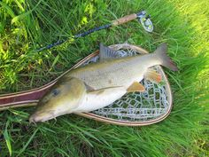 Almost 60cm barbel caught before spawning