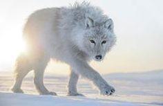 Loup blanc de l'arctique (Canada)