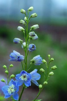 Perennial Favorites By Mahoney S Garden Center See More Larkspur Delphinium Magic Fountain Sky Blue With White