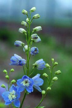 Delphinium Color Azul Gladiolus, Delphinium, Pansies, Tulips, Magic Fountain, Blue Garden, Flower Pictures, Geraniums, Hibiscus
