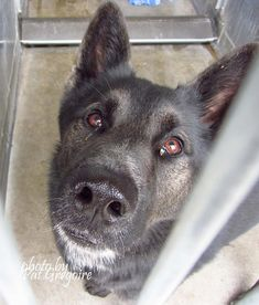A4820062 My name is Yankie. I am a friendly 2 yr old male black German Shepherd mix. My family left me here on April 18. available now. located in bldg 4 - no public view Badwin Park shelter https://www.facebook.com/photo.php?fbid=960269333984904&set=a.705235432821630&type=3&theater
