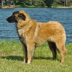 Estrela Mountain Dog. Head to NoahsDogs.com and take our new compatibility test, see if an Estrela is right for you!