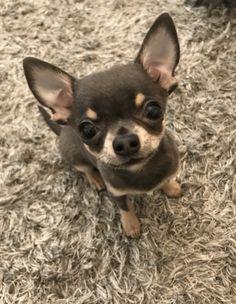 Cute Chihuahua, Chihuahua Puppies, Chihuahuas, Mans Best Friend, Best Friends, Min Pins, More Cute, Castles, Fur Babies