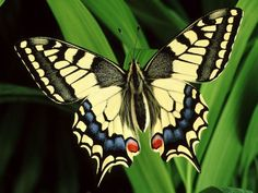pics of butterflies | ... development of butterfly wing patterns begins by the last stage Beautiful Bugs, Beautiful Butterflies, Simply Beautiful, Beautiful Things, Quilling, Butterfly Wings, Monarch Butterfly, Butterfly Kisses, Blue Butterfly