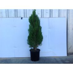 200mm Assorted Conifers
