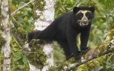 Urso-de-óculos (Tremarctos ornatus)  o único urso que vive na América do Sul, habitando regiões montanhosas da Venezuela, Colômbia, Equador, Peru e Bolívia. Este urso tem esse nome devido às manchas, em formas de  semicírculos  em volta dos olhos, dando a impressão de serem grandes óculos.http://www.zoologico.com.br/