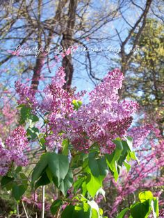 4 x 6 Photo Print Floral Pink Lilacs Flowers by krafterskorner