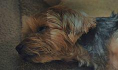 #yorkie #sleepypuppy #CKFinePhoto