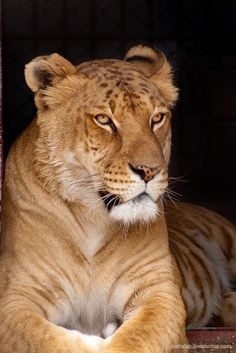 Liger, the Cross-breeding of a Tiger & a Lion ... Was that Intentional by Man?