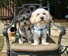 Sammy & Roxy (M Pair in TX) is an adoptable Havanese Dog in Dallas, TX.  Sammy and Roxy are best pals and are looking for a new home where they can stay together. They were very pampered and love...