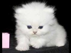 Persian kittens for sale winnipeg