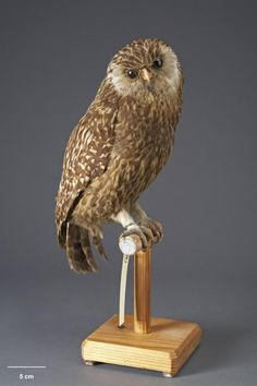 Topic: The laughing owl's extinction   Collections Online - Museum of New Zealand Te Papa Tongarewa. The laughing owl, or whekau, became extinct in the early twentieth century. The last known bird was one found dead on a road at Blue Cliffs Station, near Timaru, in 1914. The species had succumbed to the clearance of its habitat to create farms, and to newly introduced predators. Stoats, ferrets, and cats proved especially fatal for the birds.  http://collections.tepapa.govt.nz/topic/1450