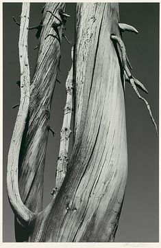 Dead Tree, Dog Lake, Yosemite National Park, c.1936 by Ansel Adams