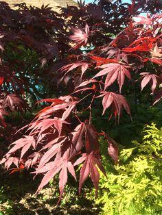 Acer palmatum Atropurpureum Japansk lönn rödbladig