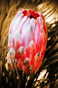 Protea Flower Protea Flower, Flowers, Travel Brochure, View Image, Free Stock Photos, Watermelon, Pumpkin, Fruit, Pictures