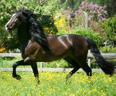 Pura Raza Española stallion, Bonanza. photo: Bettina Niedemeyer.