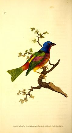 - The Naturalist's repository, or, Monthly miscellany of exotic natural history / - Biodiversity Heritage Library Bunting Bird, Painted Bunting, Nature Prints, Bird Prints, Vintage Bird Illustration, Illustration Art, Vintage Birds, Vintage Art, Botanical Drawings