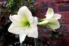 Amaryllis 'Christmas Gift,' a nice clean white with a green throat. Mannerly and tidy, intensely white color.