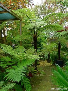 View topic - Tree ferns after 40 years Balinese Garden, Bali Garden, Ferns Garden, Shade Garden Plants, Dream Garden, Potted Plants, Tropical Backyard Landscaping, Tropical Garden Design, Small Garden Design