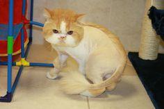 cat lion cut - Google Search