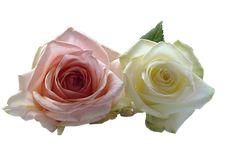 Roses, Flowers, Rose Flower, White, Pink, Wedding