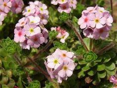 POCHYBEK NETŘESKOVITÝ - Androsace sempervivoides Botany, Green, Plant