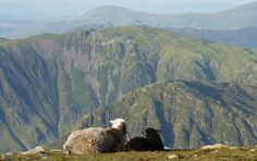 A beautiful shot from Adrian Strand.  Mother & Daughter Herdwick Sheep enjoying the view from Pillar.