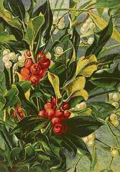 The tradition of decorating the home with native evergreens is a truly ancient one. Since pagan times Holly, ivy and evergreen herbs such as bay and rosemary were the most commonly used, all with symbolic meanings that were familiar to our ancestors. Rosemary, for remembrance, and bay, for valour, are still well known. Holly and ivy were a particularly popular combination, the holly traditionally thought to be masculine and ivy feminine, giving stability to the home. -