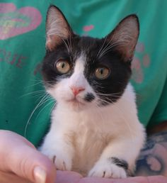 Ollivander and 34 more rescued, sweet kittens will be ready for adoption tomorrow (Saturday), 10am, at Nevada SPCA (www.nevadaspca.org)!  Ollivander is a golden-hearted, social baby boy, a dwarf feline, 4 months of age, now neutered.  Since his rescue as a newborn, he was bottle-fed by a surrogate mother and raised in a loving foster home with cats and dogs.  Ollivander loves snuggling just as much as he likes playing with his toys.