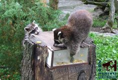 puzzle feeder, manipulative enrichment for raccoon (Procyon lotor) (photo: Christian)