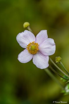 Anemone Anemone is a genus of about 120 species of flowering plants in the family Ranunculaceae, native to the temperate zones. It is closely related to Pulsatilla ('Pasque flower') and Hepatica; s...